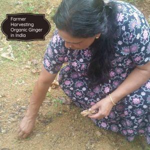 farmer picking fresh ginger